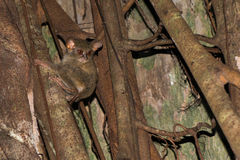 Tarsius indonesian endemic small nocturnal monkey Royalty Free Stock Photos