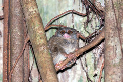 Tarsius nocturnal indonesian monkey portrait Royalty Free Stock Image