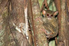 Tarsius nocturnal indonesian monkey portrait Stock Photo