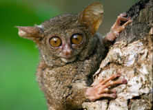 Tarsius sits on a tree in the jungle. close-up. Indonesia. Sulawesi Island. Stock Photo