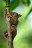Tarsius sits on a tree in the jungle. close-up. Indonesia. Sulawesi Island. Stock Images