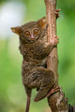 Tarsius sits on a tree in the jungle. close-up. Indonesia. Sulawesi Island. Stock Photos