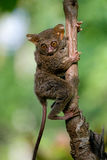 Tarsius sits on a tree in the jungle. close-up. Indonesia. Sulawesi Island. Royalty Free Stock Images