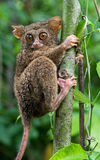 Tarsius sits on a tree in the jungle. close-up. Indonesia. Sulawesi Island. Stock Image