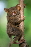 Tarsius sits on a tree in the jungle. close-up. Indonesia. Sulawesi Island. Stock Photography