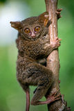 Tarsius sits on a tree in the jungle. close-up. Indonesia. Sulawesi Island. Royalty Free Stock Photography