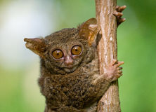Tarsius sits on a tree in the jungle. close-up. Indonesia. Sulawesi Island. Royalty Free Stock Image