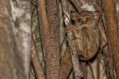 Tarsius small nocturnal monkey Royalty Free Stock Image