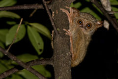 Tarsius small nocturnal monkey. Hanging on a tree Stock Photos