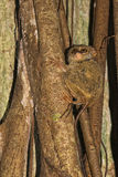Tarsius small nocturnal monkey Stock Photography