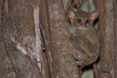 Tarsius small nocturnal monkey. Hanging on a tree Royalty Free Stock Photography