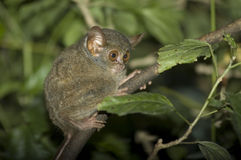 Tarsius spectrum stock photos