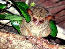 Tarsius spectrum, Tangkoko north Sulawesi Royalty Free Stock Photo