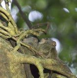 Tarsius su un albero Fotografia Stock Libera da Diritti