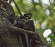 Tarsius on a tree Stock Image