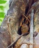 Tarsius on a tree. At Tangkoko national park Royalty Free Stock Images