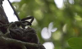 Tarsius on a tree Royalty Free Stock Images