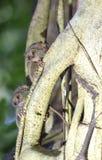 Tarsius on a tree Stock Photo