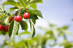 Tart cherries Royalty Free Stock Photography