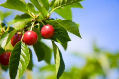 Tart cherries Stock Photos