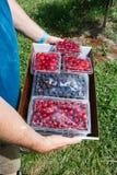 Tart Cherries and Black Raspberries Royalty Free Stock Photo