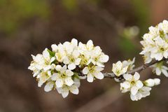 Tart cherry blossoms on branch against dark background Royalty Free Stock Image