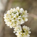 Tart cherry blossoms on branch against dark background Royalty Free Stock Images