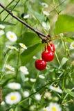 Tart Cherry (Prunus Cerasus) Stock Images