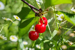 Tart Cherry (Prunus Cerasus) Royalty Free Stock Photos