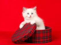 tartan ragdoll котенка подарка коробки милый Стоковые Фото