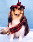 Tartan Sheltie Royalty Free Stock Photography