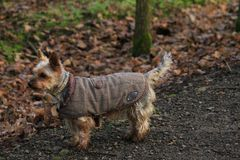 Tartan Terrier stock photo