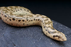 Tartar Sand Boa / Eryx tatricus Stock Photo