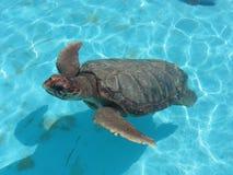 Tartaruga Fotografia de Stock Royalty Free