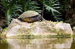 Tartaruga Imagem de Stock