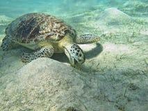 A tartaruga Fotografia de Stock