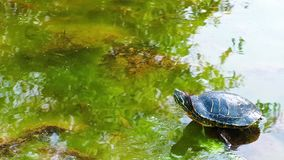 Tartaruga video d archivio