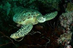 Tartaruga fotos de stock royalty free