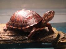 A tartaruga Fotografia de Stock Royalty Free