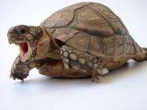 Tartaruga Fotografia Stock Libera da Diritti