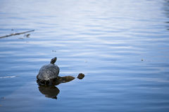 Tartaruga in acqua Immagini Stock