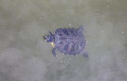 Tartaruga in acqua Immagine Stock