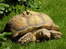Tartaruga africana Fotografia Stock Libera da Diritti