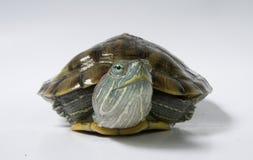 Tartaruga amarela Fotos de Stock Royalty Free