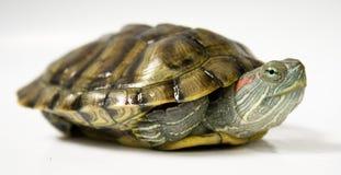 Tartaruga amarela Fotos de Stock