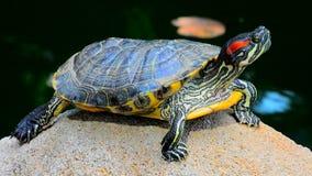 Tartaruga asiática da tartaruga de água doce video estoque
