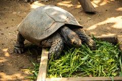 Tartaruga asiatica della foresta Fotografie Stock Libere da Diritti