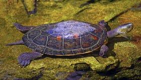 Tartaruga asiática da tartaruga de água doce Fotos de Stock Royalty Free