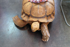 Tartaruga branca afortunada Foto de Stock