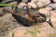 Tartaruga capovolta Immagine Stock